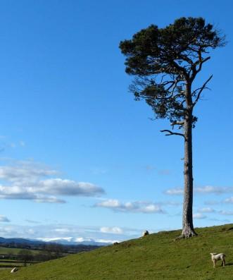 Hillside pine