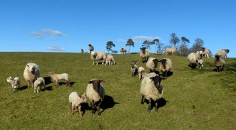 The sheep are coming