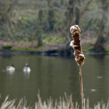 Geese and reed mace