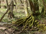 Mossy roots