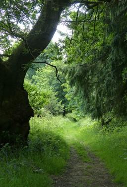 A woodland way