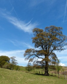 Cirrus and tree