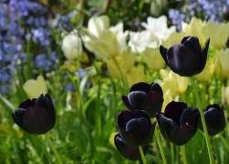 Guinness in tulips...