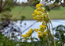 Lakeside cowslips