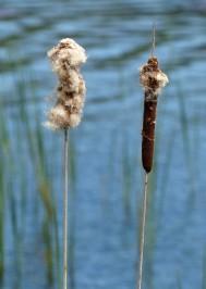 Last year's reed mace
