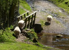 Sheep bridge