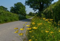 Buttercups by the lane