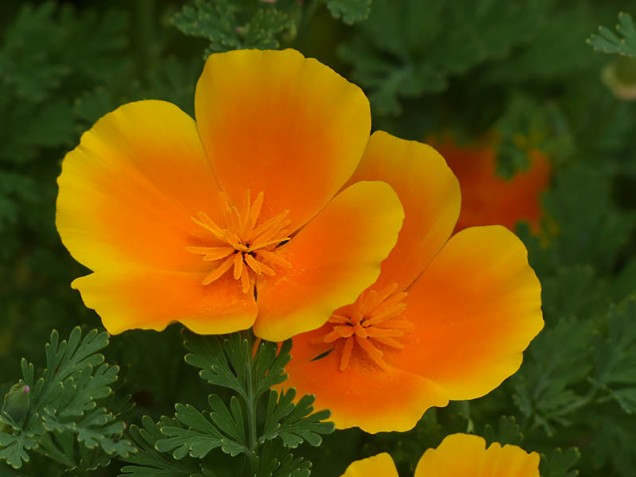 Californian poppy