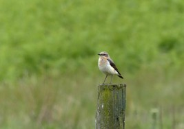 Mrs Wheatear (I think)