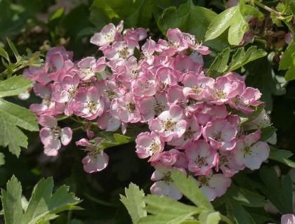 Pink May
