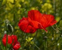Poppies beside the field