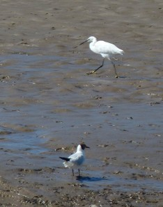 Egret and gull