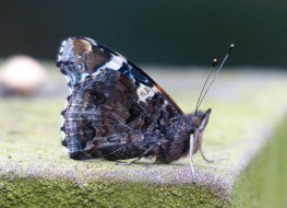 Red admiral at rest