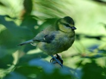 Bluetit in the foliage