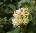 Hedgerow honeysuckle