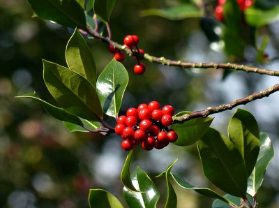 Prickle-free holly
