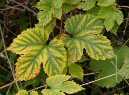 Hop leaves...