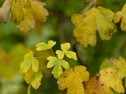 Hedgerow leaves