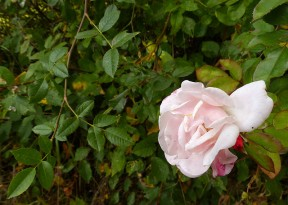 Hedgerow rose