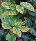 Variegated - hop leaves