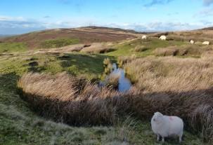 Shy sheep and Abdon Burf
