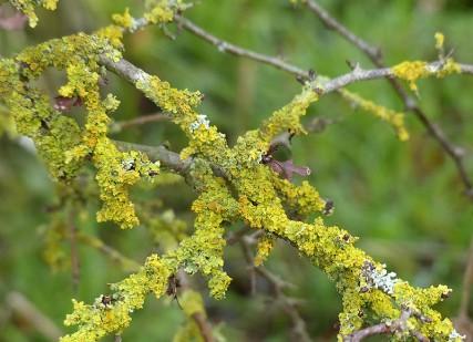 Lichen in the hedge
