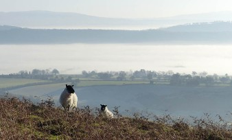 Sheep and Apedale