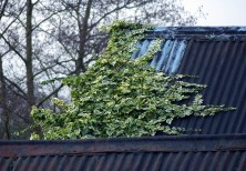 Ivy on the roof