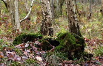 Mossy stump in Bannister's Coppice