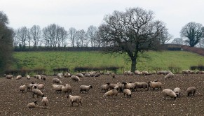 Sheep in turnips