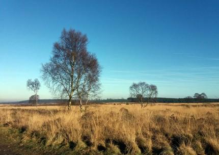 Scattered birch