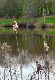 Reed mace at Hurst Farm pool