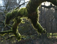 Mossy Clee tree