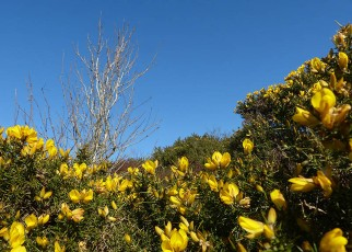 Gorse and spring sunshine