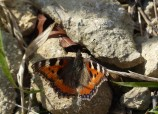 First tortoiseshell of the year...