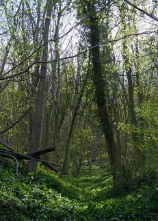 Benthall Edge woodland