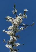 Blackthorn and blue