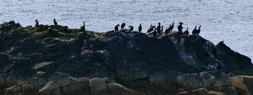 Cormorants by the shore