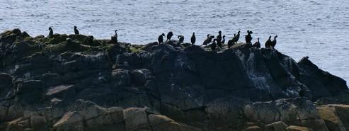 Cormorants by the shore