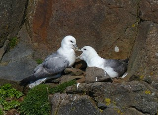 Gulls nesting