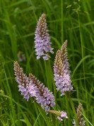 More orchids in the meadow