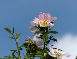 Wild rose at Easthope