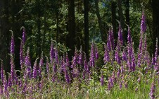 Foxgloves and forest