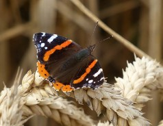 Resting red admiral