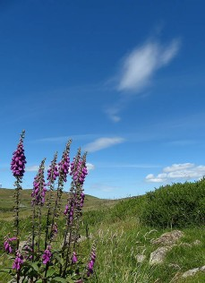 Hoar Edge foxgloves