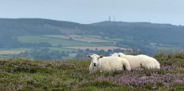 Silvington sheep