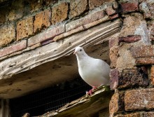 Benthall dove