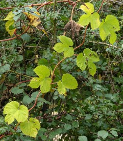 Hop leaves