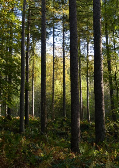Coniferous woodland...