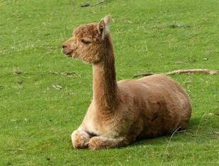 Comfortable alpaca